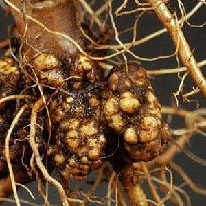 Image result for سرطان درختان بادام یا گال طوقه بادام